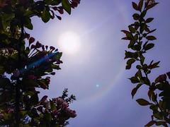 Sun halo means it's going to rain (amysturg) Tags: sun halo rainbow flowers spring maine sunhalo