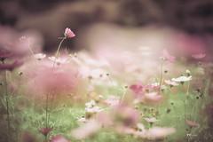 波斯菊 (Wi 視覺) Tags: flower flowers beautiful