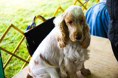 AKC Dog Show Salem, CT (Stroebel Studios) Tags: akc dog show greatdane pugs standardpoodle pets connecticut ct brussels terrier