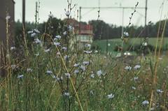 (Bear's Photos &!) Tags: canon eos 50e elan ii kodak portra iso 800 35mm 135 lens ef 28105 f35 45 usm film analog color outdoor flower plant green