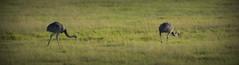 Parada Pucheta, Corrientes, Argentina (Eduardo Amorim) Tags: ñandu nhandu inhandu rheaamericana greaterrhea nandoudamérique nandu ema ave bird oiseau uccello vogel aves birds oiseaux uccelli vögel campo field pampa campanha amanecer amanhecer alvorada alborada sunrise ruta camino estrada caminho road pasodeloslibres corrientes provínciadecorrientes corrientesprovince argentina sudamérica südamerika suramérica américadosul southamerica amériquedusud americameridionale américadelsur americadelsud eduardoamorim paradapucheta