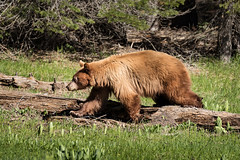 Yosemite Bear (alicecahill) Tags: california usa bear wildlife yosemite blackbear mammal nationalpark meadow sierranevada wild ©alicecahill animal