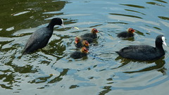 Coot family (John Steedman) Tags: coots coot bird birds london uk unitedkingdom england イングランド 英格兰 greatbritain grandebretagne grossbritannien 大不列顛島 グレートブリテン島 英國 イギリス ロンドン 伦敦