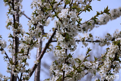 Cherry 3 (RoselynG23) Tags: nature spring trees tree branches brach blossoms blossom