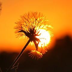 sunset. . . (msm_danka) Tags: sunset sunsetsilhouette sunshine macro droplet flower singleflower sun sunsetcollection israelnature nature fantasticnature amazingnature dandelion