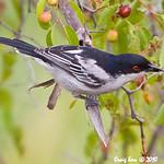 Passeriformes_Laniidae_Shrike_BlackBackedPuffback