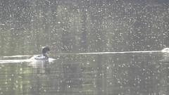 red breasted merganser Mergus serrator pair swimming (BSCG (Badenoch and Strathspey Conservation Group)) Tags: acm bird duck sawbill rm