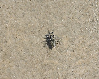 Ellipsoptera hamata, Coastal Tiger Beetle