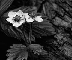 Walderdbeerenblüte (Pe Wi ...off on Holiday...Lago di Ledro/ Trentino ) Tags: walderdbeeren blüte sw garten outdoor germany stuttgart blumen monochrom nahlinse hartblei120mm