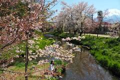 Spring at Mount Fuji (elenaleong) Tags: oshinohakkai 忍野八海 mtfuji springtime elenaleong cherryblossom sakura stream reflections fujifivelake