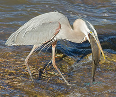 IMG_4095 Great Blue Heron and Shad (cmsheehyjr) Tags: cmsheehy colemansheehy nature wildlife bird heron greatblueheron floodwall richmond virginia ardeaherodias