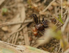spider food (Phil Arachno) Tags: mönchbruch xysticus spider arachnida chelicerata germany hessen arthropoda