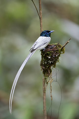 Asian Paradise Flycatcher(M) (MEphotog) Tags: kualalipis pahang malaysia my asian paradise flycatcher wild birds