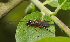 Parasitic wasp 2- (Alf Branch) Tags: wasp ichneumons ichneumon parasite parasiticwasp insects insect invertibrate macro macrodreams closeup alfbranch olympus olympusomdem1 sigma sigma105f28 nissindi466 flash diffuser homemadediffuser