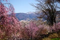 Spring Mountain (tez-guitar) Tags: mountain sakura cherryblossom cherry blossoms bloom spring flower pentax pentaxart petal shinshu nagano