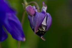 Budding bonnets (AngharadW) Tags: bud aquilegia petal purple green bokeh dof macro outdoor cymru angharadw granniesbonnets bonnets
