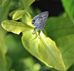 A Little Blue (ACEZandEIGHTZ) Tags: nikon d3200 butterfly plumbago nature cassius gossimerwing springtime leptotes backyard
