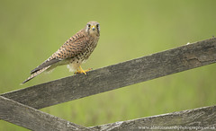 Female Kestrel (Alastair Marsh Photography) Tags: kestrel kestrels femalekestrel farm farmland farmanimal farmanimals britishwildlife bird britishanimals britishanimal britishbirds birds britishbird animal animals animalsintheirlandscape wildlife feathers feather birdofprey birdsofprey spring springtime