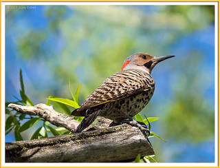 Pic flamboyant (M) - Northern Flicker (M
