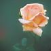 9DS_5061 (silviu_z) Tags: blur silviu zlot rose garden closeup nature dof plant outdoor orange green mint nikkor nikon d810 macromondays