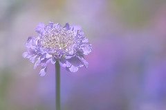 Stand Tall (Sarah Fraser63) Tags: flower flora purple petals mygarden sonya77 garden outside nature environment plants scabious butterflyblue