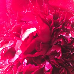 Red Peony (markshephard800) Tags: rouge rosa rot red flora flores blumen bloemen fiori flowers fleurs peony peonies