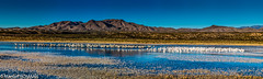 Sandhill cranes and Snow geese (Manuel ROMARIS) Tags: nationalwildreserve usa national wildlife geese reserve bosquedelapache sandhillcrane refuge snowgoose panorama nm pano newmexico