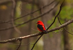 Tanager in the bush (S. J. Coates Images) Tags: scarlet tanager songbird migrants ontarioprovincialpark murphys point