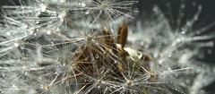 Dandelion in the sun (pe_ha45) Tags: dandelion pusteblume löwenzahn raindrops regenttropfen sunshine ourgarden dentedeleao paardebloem dientedeléon dentedileone pissenlit