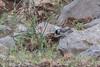 Sombre Tit (katyarud) Tags: hermon israel paruslugubris sombretit средиземноморскаябольшаягаичка хермон птицы חרמון ירגזיחרמון ישראל