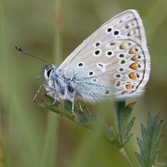 Azuré bleu aux ailes repliées. (vepephotos) Tags: macro proxi papillon butterfly azuré bleu canon eos7dmark2 60mm orveau civaux vienne poitou france macrophotography
