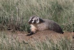 American Badger Cub (fethers1) Tags: rockymountainarsenalnwr rmanwr rmanwrwildlife coloradowildlife americanbadger