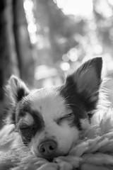 Sweet dreams (Fujibert) Tags: animal dog dream event gemütsstimmung hmbt hund mammal niedlich schlafend schwarzweis sleepy stil style säugetier tier traum veranstaltung