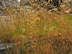 Golden Grass (Cornishcarolin. Problems posting thanks xxx) Tags: cornwall penryn nature grass