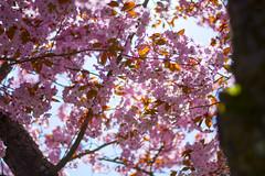 Cherry Blossoms UW (alex.grenier) Tags: cherry blossoms uw university washington