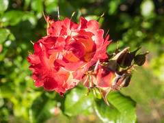 Red-Yellow Rose (melastmohican) Tags: rose floral sunny natural color beautiful season blossom flower shrub day beauty outdoor gardening orange red garden bush plant colorful petal flora love rosebush fresh botanical outdoors bloom nobody yellow nature field