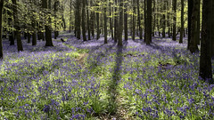 First Bluebells (Fun@365) Tags: bluebells sunshine light shadows fresh freen blue trees beech nature woodlands ashridge dockeywoods nationaltrust hertfordshire