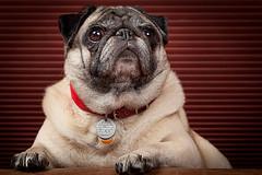 Peaches (kunyiliu) Tags: 5dmarkii 5dii black brown canon dog dogs eos peaches pet pets portrait pug pugs
