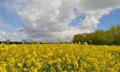 Storm clouds building over the fields (braddalad123) Tags: field fields rapeseed yellow cloud clouds beautiful storm sky sun sunlight nature outdoor landscape nikon d3200 1855mm hedge trees flower flowers nikonflickraward