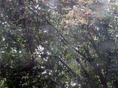 Rainy Monday. (dccradio) Tags: lumberton nc northcarolina robesoncounty leaves foliage tree trees backyard rainy rainyday rain raining woods wooded nature landscape outside outdoors leaf greenery treelimbs sticks