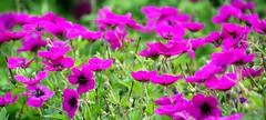 Geraniums Can Add a Splash of Colour to Any Garden! (antonychammond) Tags: geranium flower pink purple flowerarebeautiful floralfantasy contactgroups exquisiteflowers