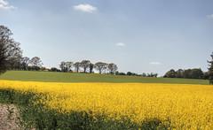 Canola near winchester (neilalderney123) Tags: ©2017neilhoward canola rapeseed crop winchester olympus landscape hampshire