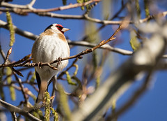 Steglits - European Goldfinch - Carduelis carduelis (Peter Dahlgren) Tags: animal bird black bluesky branch cardueliscarduelis djur europe europeangoldfinch feathering feathers fjäderdräkt fjädrar fågel fåglar gren grenar natur nature plumage red röd spring steglits svart sweden vingar vit vår white wings