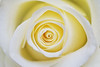 Day 116 (Tres Seis Cinco) Tags: 365 365photoproject aphotoaday blossom day116 macro petals rose paleyellow flower closeup fineart