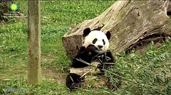 2017_04-30 (gkoo19681) Tags: beibei bootime adorableears fuzzywuzzy feetsies toocute toofers contentment perfection soyummy ccncby nationalzoo