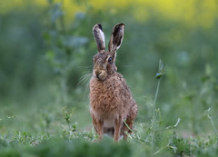 European Hare Lepus europaeus 041-1 (cwoodend..........Thanks) Tags: 2017 wildlife warwickshire hare lepuseuropaeus europeanhare nature leporid lepus