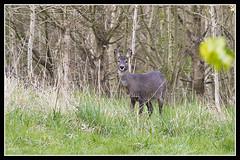 IMG_0242 Roe Deer (scotchjohnnie) Tags: roedeer deer capreoluscapreolus female doe mammal wildlife wildanimal nature naturewildlifeandbirds northeastengland canon canoneos canon7dmkii canonef100400f4556lisiiusm scotchjohnnie