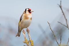 Goldfinch (Shane Jones) Tags: goldfinch finch bird wildlife nature nikon d500 200400vr tc14eii