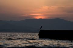 Bird with sunset(夕日と鳥) (daigo harada(原田 大吾)) Tags: silhouette kanzanji lake hamana 浜名湖 舘山寺 シルエット sunset 夕日 bird