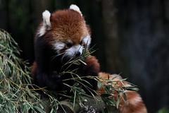 Red Panda (小貓熊) (scv1_2001) Tags: nikon nikon70200mmvrii nikond750 taiwan taipeizoo 台北市立動物園